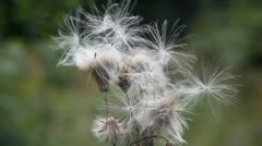 Thistle - stock footage