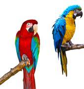 ara parrots - stock photo