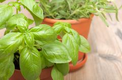 potted herbs - basil and rosemary - stock photo