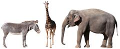 zebra, giraffe and elephant - stock photo