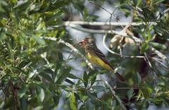 Great crested flycatcher Stock Photos