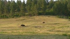 Three Bison on the Hill Stock Footage
