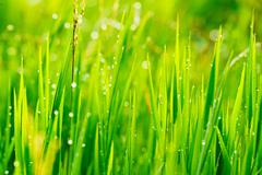 Close up of fresh grass with water drops in the early morning Stock Photos