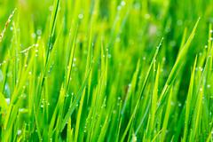 close up of fresh grass with water drops in the early morning - stock photo