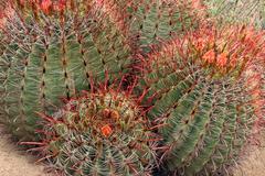Barrel Cactus Bunch Stock Photos