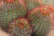 Barrel Cactus Bunch Stock Photos