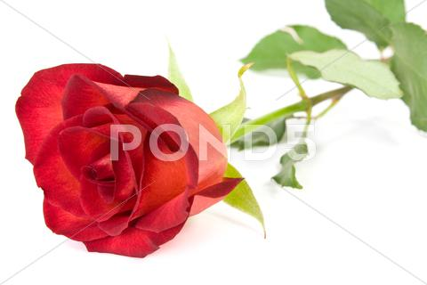 Stock photo of beautiful red rose