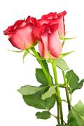 Stock Photo of three red roses