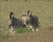 A herd of zebras in veld. Stock Footage