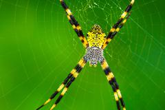 black and yellow garden spider - stock photo