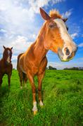 Horses in green field Stock Photos