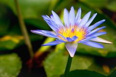 water lilly in a pond - stock photo