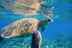 green sea turtle swimming in ocean sea - stock photo