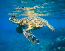 Green sea turtle swimming in ocean sea Stock Photos