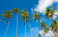 tropical palm trees in hawaii - stock photo