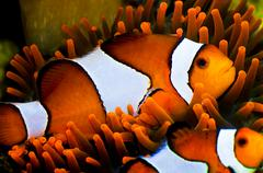Clown fish in an anemone Stock Photos