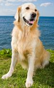Stock Photo of golden retriever