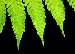 Stock Photo of fern isolated on black background