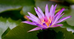 Water lilly in a pond Stock Photos