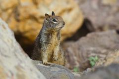 .american red squirrel - stock photo