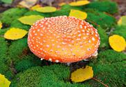 Amanita mushroom Stock Photos