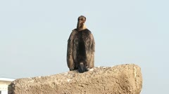 An immatur of great cormorant resting on the shore Stock Footage