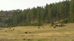 A Herd of Bison on the Hill Stock Footage