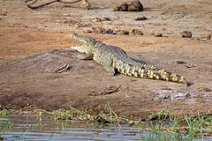 A wild Nile Crocodile basks on the banks of the Kazinga Channel in Uganda. Stock Photos