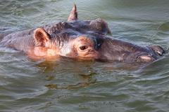 A wild Hippopotamus in the Kazinga Channel in Uganda, Africa. - stock photo