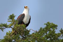 African Fish Eagle stares out while perched on acacia in Uganda, Africa. Stock Photos