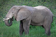 A WILD African Elephant feeding on vegetation in Uganda, Africa. - stock photo