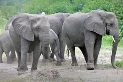 WILD African Elephant Family in Uganda, Africa. - stock photo