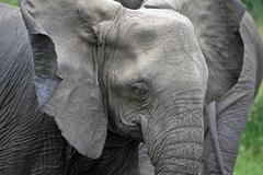 Wild African Elephant flaps its big ears to cool down its body in Uganda. Stock Photos