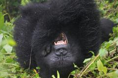 An Endangered Mountain Gorilla rolls around in the wild in Rwanda, Africa. - stock photo