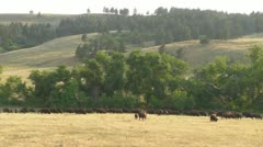 Bison in a Golden Field Stock Footage