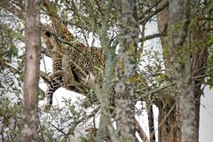 A Well-camouflaged WILD Leopard lies motionless in a tree in Kenya, Africa. Stock Photos