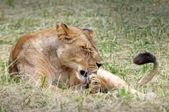 A WILD Lioness cleans and preens herself while lying in the grass in Kenya. - stock photo