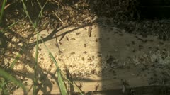 Ant Colony Moves Nest Stock Footage