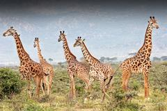 Wild Giraffes being hunted in Kenya, Africa. Bullet wound is visible. - stock photo