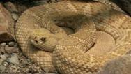 Stock Video Footage of Rattlesnake Eye Zoom In