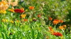 Yellow  flower close-up. pot marigold Stock Footage