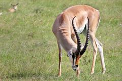 A Wild Male Impala (Aepyceros melampus) in the Masai Mara, Kenya, Africa. - stock photo