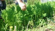 Harvest of carrots in field Stock Footage