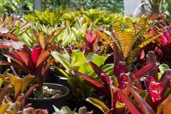 flowers guzmania - stock photo