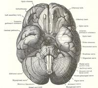 Dissection of the human brain Stock Photos
