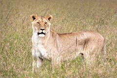 A WILD Lioness keeps a lookout during a hunt in the Masai Mara, Kenya, Africa. - stock photo