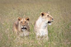 WILD pair of Lionesses after a successful hunt in the Masai Mara, Kenya, Africa. - stock photo