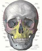 dissection of the human head - stock illustration