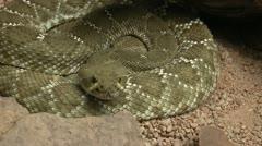 Rattlesnake Stare Stock Footage