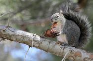 Squirrel Eats Pine Cone Stock Photos